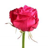 Роза Шангри Ла поштучно
